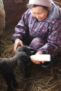 元気にミルクを飲むめん羊