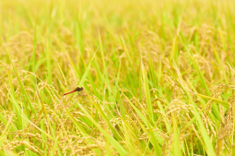 とんぼのある風景:大稲原を行く
